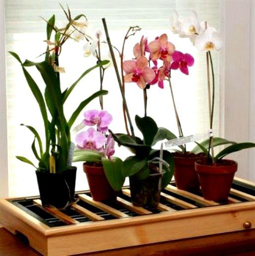 Чудо орхидея в домашних условиях: секреты ухода