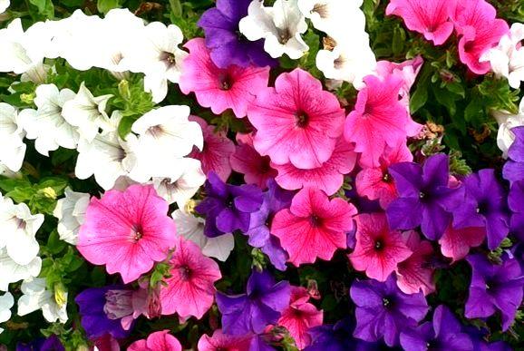 Как выбрать однолетние цветы для дачи
